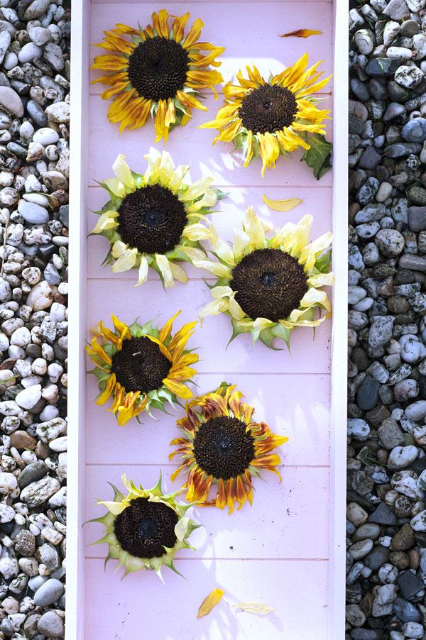Girasole fiore del mese di Luglio
