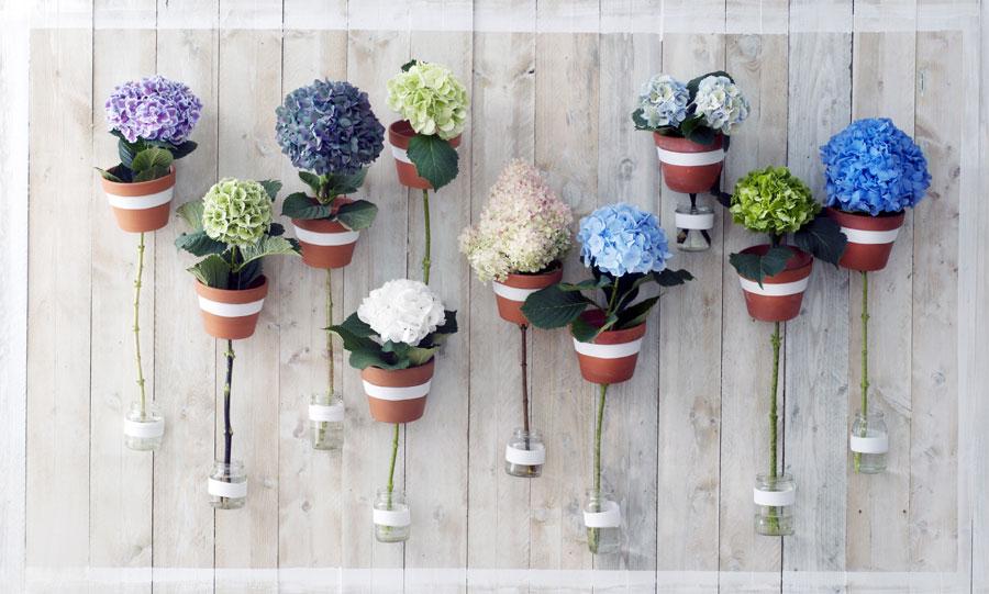 Hydrangea fiore del mese dal 15 agosto al 4 settembre