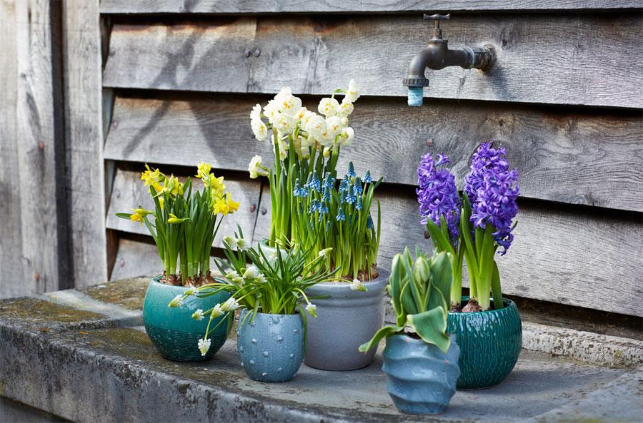 Inverno colorato con i bulbi da fiore in vaso