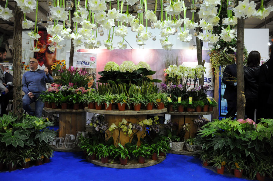 Ingrosso fiori webshop Asta Olanda Van der Plas
