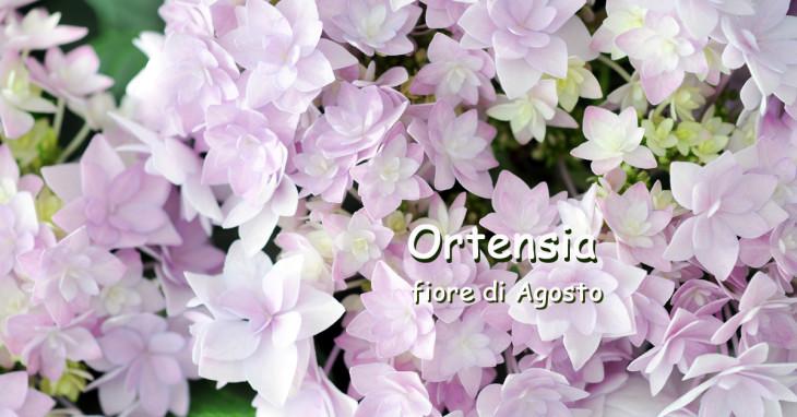 Hydrangea fiore del mese di Agosto