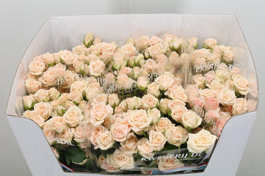 Rosa fiore del mese di Novembre