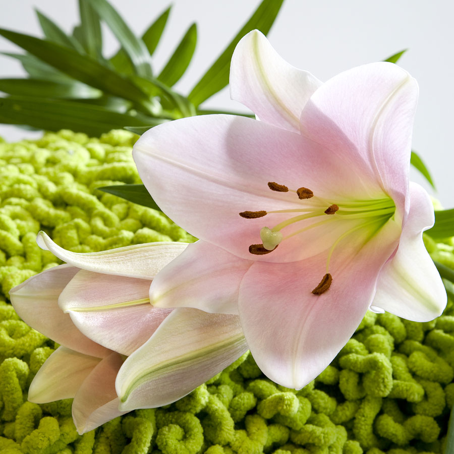 Lilium fiore del mese di Luglio